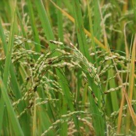 Ris snart klart för skörd på resa till Bhutan