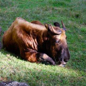 Det underliga djuret takinen på den fina djurparken i Thimpu