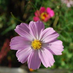 En av många vackra blommor på resa till Bhutan