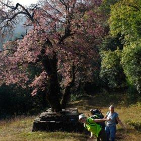 Träd på vandringen i Annapurna, på tjejresan