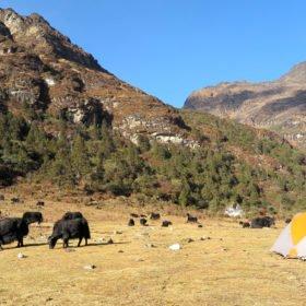 jakar betar vid vår tältplats på vandring i Bhutan