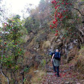 Vandring i Nepal, stig med blommande rhododendron
