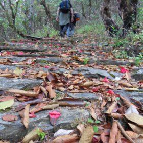 Vandring i Nepal, rhododendronlöv på en stig i skogen