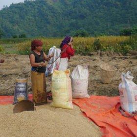 Paddlingskurs Nepal. Kvinnor packar nyskördat ris.