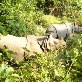 Chitwan nationalpark, noshörningar