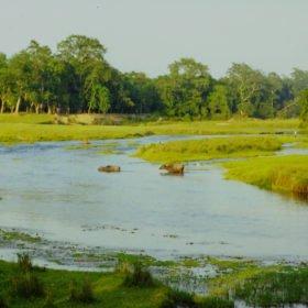Chitwan nationalpark, vattenbufflar på väg att bada