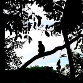 Chitwan nationalpark, en apa i ett träd