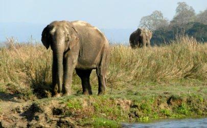 Chitwan nationalpark Två elefanter på väg ned till en flod för att dricka