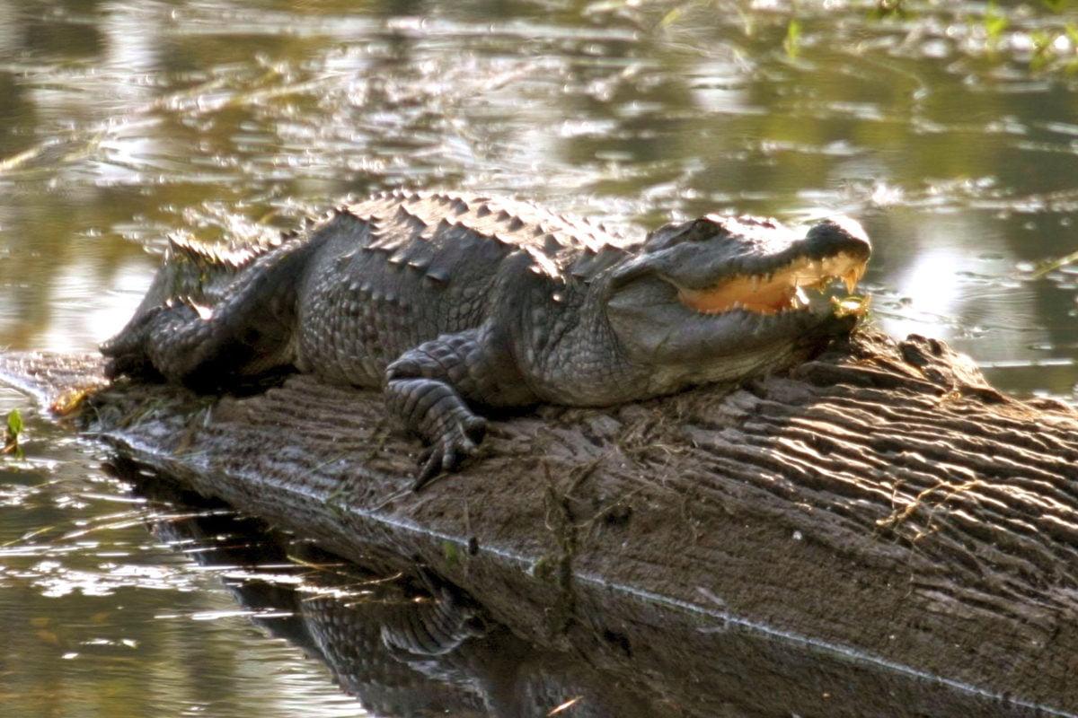 Chitwan nationalpark, krokodil njuter av solen på en stock på en flod