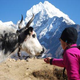 Möte med en jak på väg till Everest Base Camp