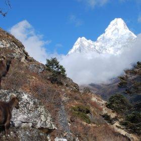 Bergsgetter poserar framför Ama Dablam