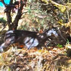 Det ovanliga myskdjuret i området kring Everest Base Camp