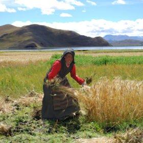 Resa Tibet & Nepal, en tibetansk kvinna skördar ris för hand