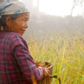 Resa Tibet och Nepal, en kvinna skördar hirs för hand med en kniv