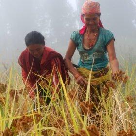 Rundresa Nepal. Kvinnor skördar hirs för hand