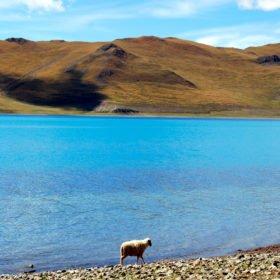 Rundresa Tibet, ett får går i vattenbrynet vid en helig vackert blå sjö