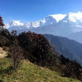 Vandringsresa Nepal. Rhododendron och snötäckta berg.
