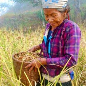 Vandringsresa Nepal, en kvinna skördar hirs för hand.