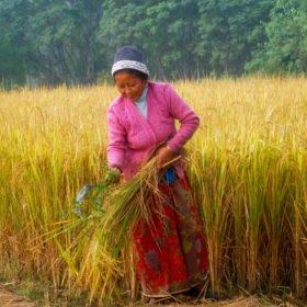 Tjejresa Nepal, en kvinna skördar ris gör hand