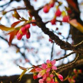 Tjejresa Nepal, blommande träd