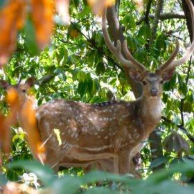 En hjort i Gokarnaskogen