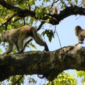 Apor i träden i Gokarnaskogen