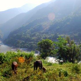 Vandra i Nepal, kor och floden Trisuli i bakgrunden
