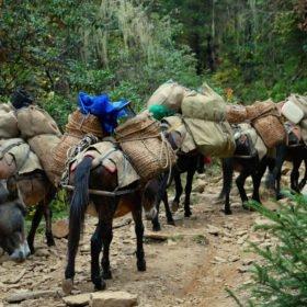 vandringsresa Bhutan, lastade hästar på en stig