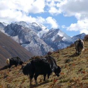 Bhutanresa, jakar på bete
