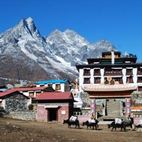 Jakar med förnödenheter på ryggen på väg till Everest Basecamp