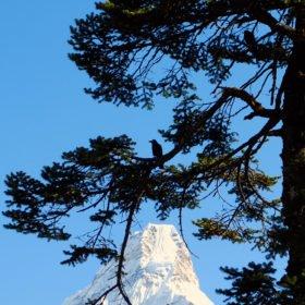 Everest Basecamp, kråka i ett träd