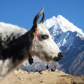Jak och berget Thamsherku på väg till Everest Basecamp