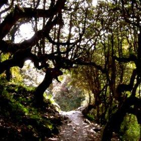 nepalesisk rhododendronskog, på väg till Annapurna Basecamp