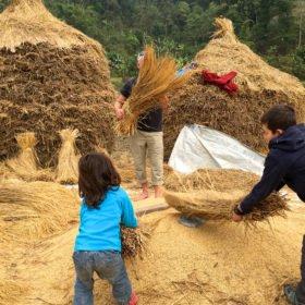 pojkar skördar ris rundresa Nepal