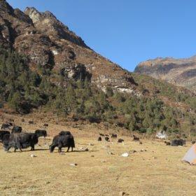 Jakar på bete på Bhutan vandring