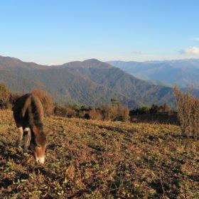 Häst på Bhutan vandring