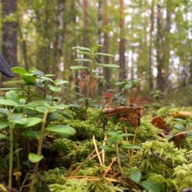 mossa, lingonris och träd på skogsbad