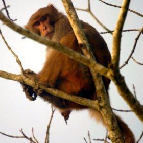 Apa på skräddarsydd resa i Nepal