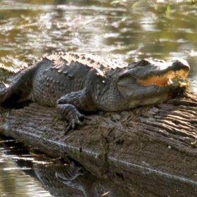 krokodil på skräddarsydd resa i Nepal