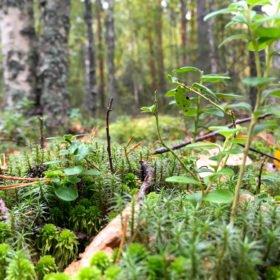 skogsbad bland lingonris och mossa