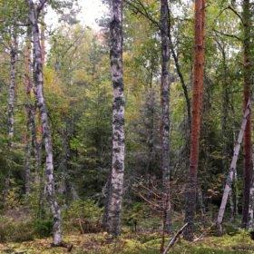 skogsbadare vid ett träd