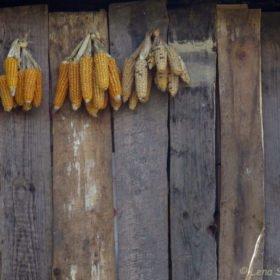 majs på tork på trekking i Nepal
